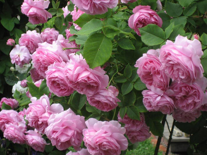 pink_roses-1545343
