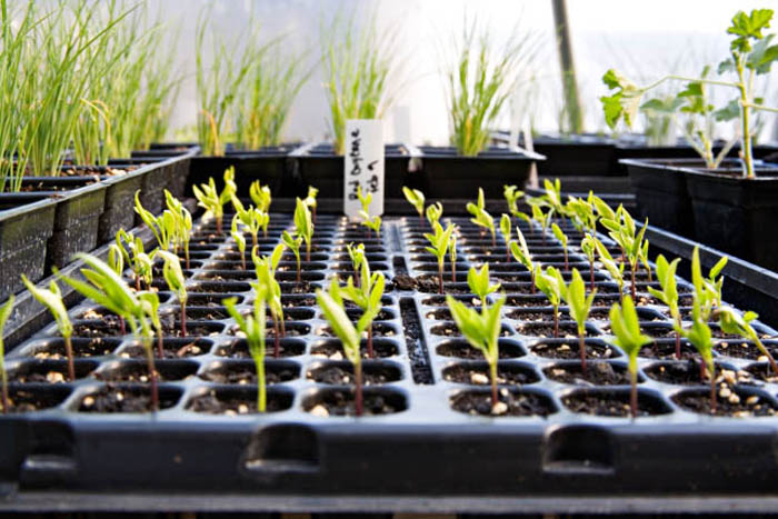 Stock Photo of Cayenne Pepper Seedlings Growing in a Greenhouse